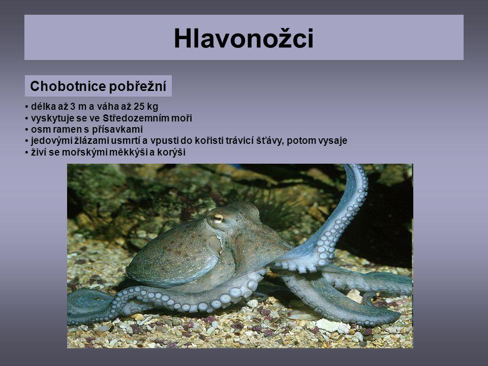 Hlavonožci Chobotnice pobřežní délka až 3 m a váha až 25 kg vyskytuje se ve Středozemním moři osm ramen s přísavkami jedovými žlázami usmrtí a vpusti