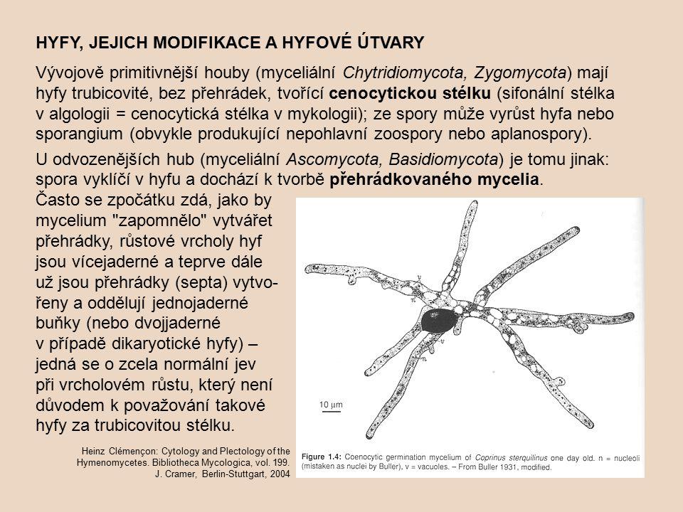 HYFY, JEJICH MODIFIKACE A HYFOVÉ ÚTVARY Vývojově primitivnější houby (myceliální Chytridiomycota, Zygomycota) mají hyfy trubicovité, bez přehrádek, tvořící cenocytickou stélku (sifonální stélka v algologii = cenocytická stélka v mykologii); ze spory může vyrůst hyfa nebo sporangium (obvykle produkující nepohlavní zoospory nebo aplanospory).