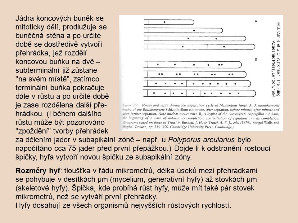 za dělením jader v subapikální zóně – např. u Polyporus arcularius bylo napočítáno cca 75 jader před první přepážkou.) Dojde-li k odstranění rostoucí