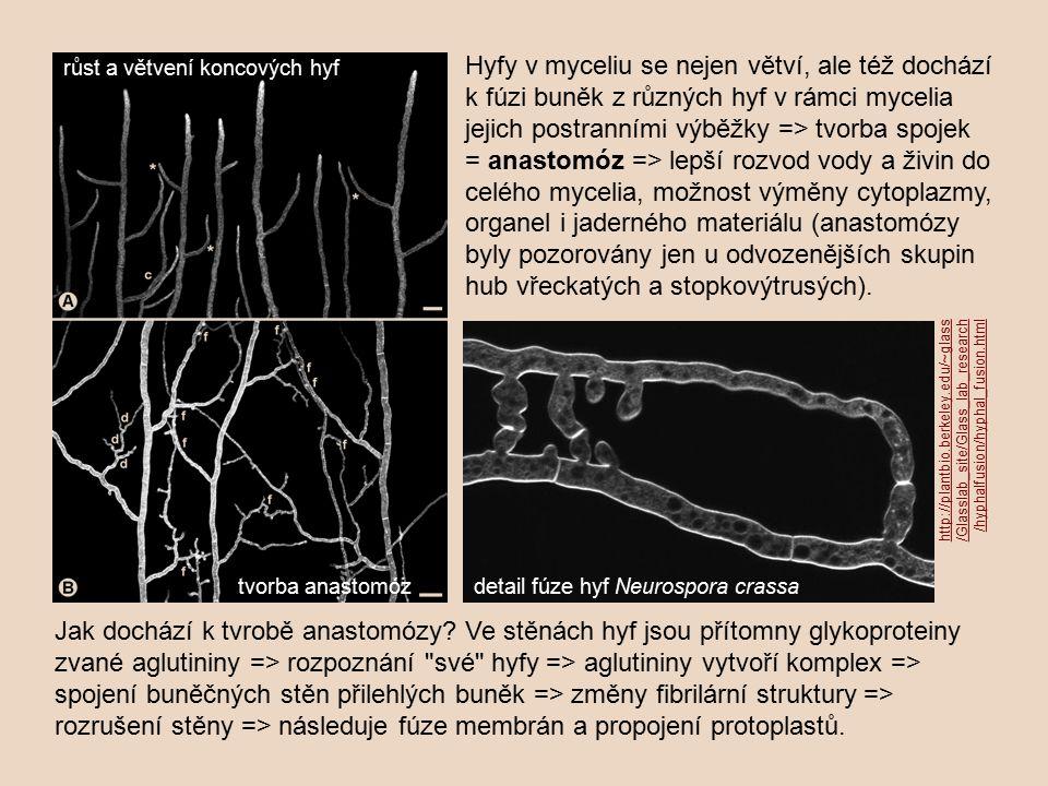 Hyfy v myceliu se nejen větví, ale též dochází k fúzi buněk z různých hyf v rámci mycelia jejich postranními výběžky => tvorba spojek = anastomóz => lepší rozvod vody a živin do celého mycelia, možnost výměny cytoplazmy, organel i jaderného materiálu (anastomózy byly pozorovány jen u odvozenějších skupin hub vřeckatých a stopkovýtrusých).