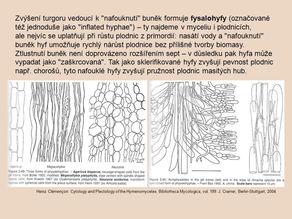 Zvýšení turgoru vedoucí k nafouknutí buněk formuje fysalohyfy (označované též jednoduše jako inflated hyphae ) – ty najdeme v myceliu i plodnicích, ale nejvíc se uplatňují při růstu plodnic z primordií: nasátí vody a nafouknutí buněk hyf umožňuje rychlý nárůst plodnice bez přílišné tvorby biomasy.