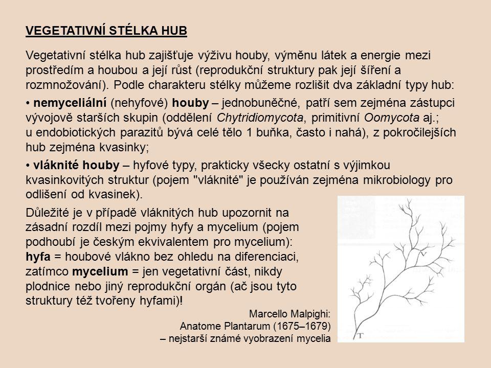 VEGETATIVNÍ STÉLKA HUB Vegetativní stélka hub zajišťuje výživu houby, výměnu látek a energie mezi prostředím a houbou a její růst (reprodukční struktury pak její šíření a rozmnožování).
