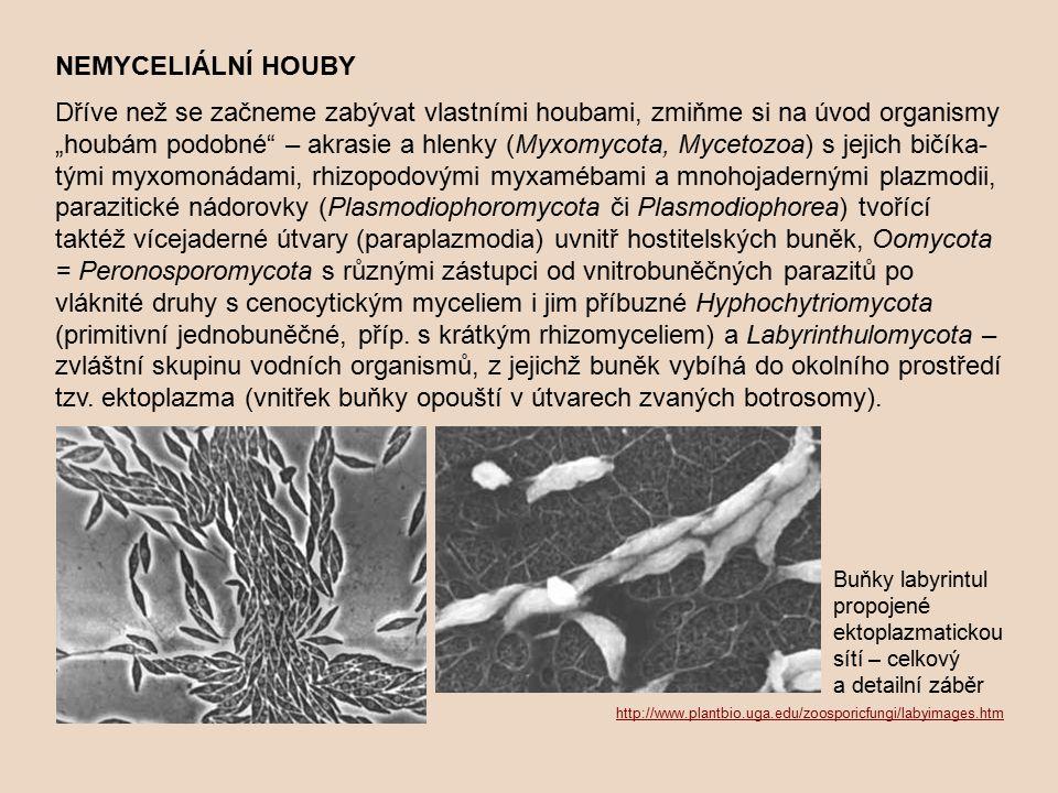"""NEMYCELIÁLNÍ HOUBY Dříve než se začneme zabývat vlastními houbami, zmiňme si na úvod organismy """"houbám podobné"""" – akrasie a hlenky (Myxomycota, Myceto"""