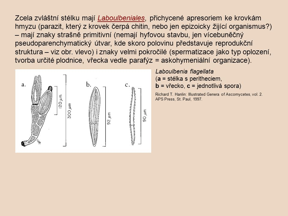 Richard T. Hanlin: Illustrated Genera of Ascomycetes, vol. 2. APS Press, St. Paul, 1997. Laboulbenia flagellata (a = stélka s peritheciem, b = vřecko,