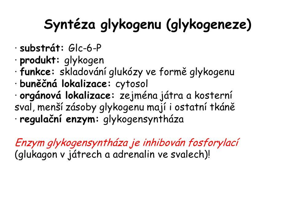 Syntéza glykogenu (glykogeneze) · substrát: Glc-6-P · produkt: glykogen · funkce: skladování glukózy ve formě glykogenu · buněčná lokalizace: cytosol · orgánová lokalizace: zejména játra a kosterní sval, menší zásoby glykogenu mají i ostatní tkáně · regulační enzym: glykogensyntháza Enzym glykogensyntháza je inhibován fosforylací (glukagon v játrech a adrenalin ve svalech)!