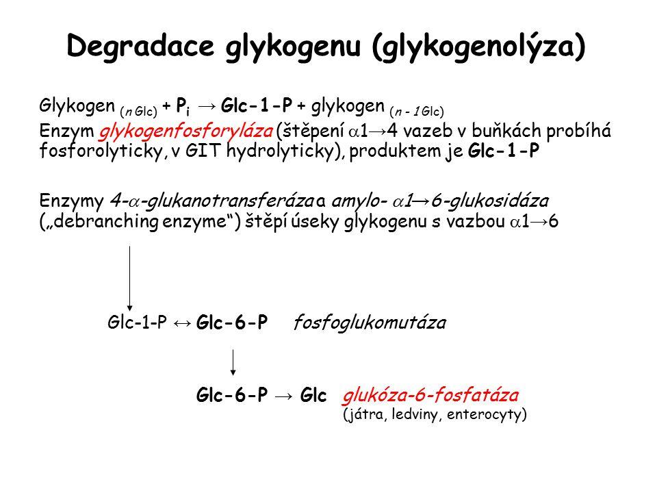 """Degradace glykogenu (glykogenolýza) Glykogen (n Glc) + P i → Glc-1-P + glykogen (n - 1 Glc) Enzym glykogenfosforyláza (štěpení  1 → 4 vazeb v buňkách probíhá fosforolyticky, v GIT hydrolyticky), produktem je Glc-1-P Enzymy 4-  -glukanotransferáza a amylo-  1 → 6-glukosidáza (""""debranching enzyme ) štěpí úseky glykogenu s vazbou  1 → 6 Glc-1-P ↔ Glc-6-P fosfoglukomutáza Glc-6-P → Glc glukóza-6-fosfatáza (játra, ledviny, enterocyty)"""