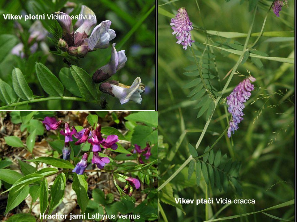 Vikev plotní Vicium sativum Vikev ptačí Vicia cracca Hrachor jarní Lathyrus vernus