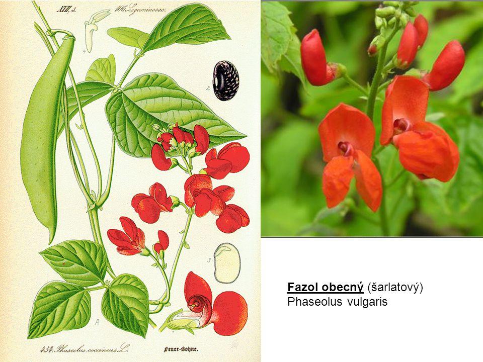 Fazol obecný (šarlatový) Phaseolus vulgaris
