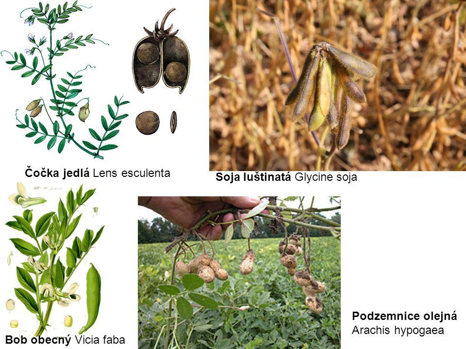 Čočka jedlá Lens esculenta Soja luštinatá Glycine soja Bob obecný Vicia faba Podzemnice olejná Arachis hypogaea