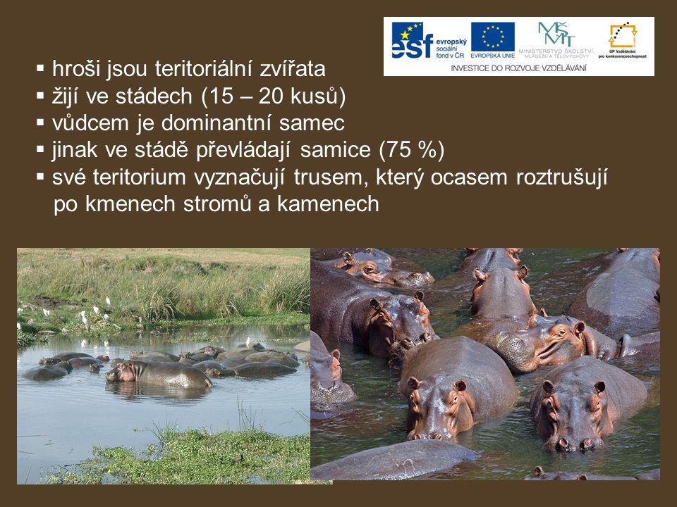  hroši jsou teritoriální zvířata  žijí ve stádech (15 – 20 kusů)  vůdcem je dominantní samec  jinak ve stádě převládají samice (75 %)  své terito