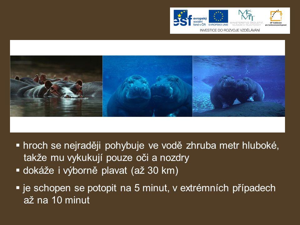  hroch se nejraději pohybuje ve vodě zhruba metr hluboké, takže mu vykukují pouze oči a nozdry  dokáže i výborně plavat (až 30 km)  je schopen se p