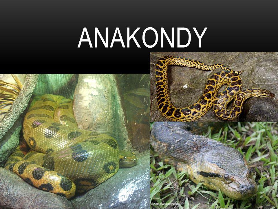 ANAKONDA VELKÁ Je to nejtěžší had na světě z čeledi hroznýšovitých.