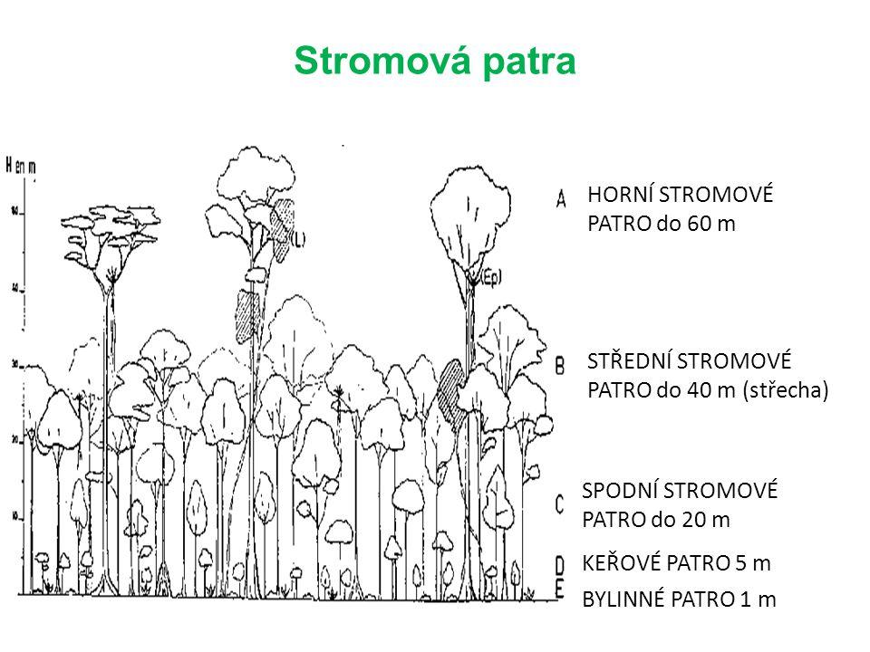 Stromová patra BYLINNÉ PATRO 1 m KEŘOVÉ PATRO 5 m SPODNÍ STROMOVÉ PATRO do 20 m STŘEDNÍ STROMOVÉ PATRO do 40 m (střecha) HORNÍ STROMOVÉ PATRO do 60 m