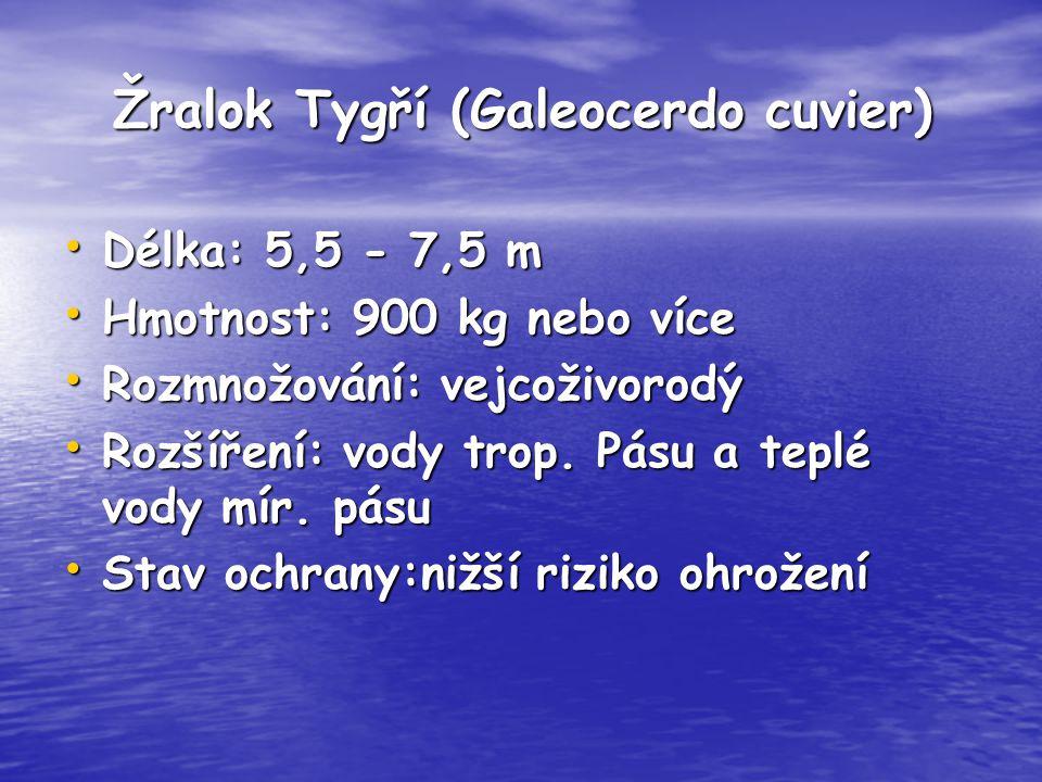 Žralok Tygří (Galeocerdo cuvier) Délka: 5,5 - 7,5 m Délka: 5,5 - 7,5 m Hmotnost: 900 kg nebo více Hmotnost: 900 kg nebo více Rozmnožování: vejcoživoro