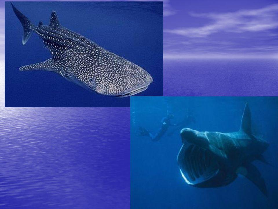 Žralok lagunoví (Triaenodon obesus) Délka: 1,6 m, max 2,1m Délka: 1,6 m, max 2,1m Hmotnost: přes 18 kg Hmotnost: přes 18 kg Rozmnožování: živorodý Rozmnožování: živorodý Rozšíření: trop.