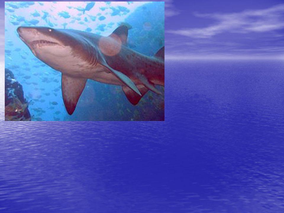 Žralok bílý (Carchandon carchrias) Délka: 6m, max 8m Délka: 6m, max 8m Hmotnost: 2 tuny a více Hmotnost: 2 tuny a více Rozmnožování: živorodý Rozmnožování: živorodý Rozšíření: Vody tropického a mirného pásu, občas ve studených vodách Rozšíření: Vody tropického a mirného pásu, občas ve studených vodách Stav ochrany: zranitelný druh Stav ochrany: zranitelný druh