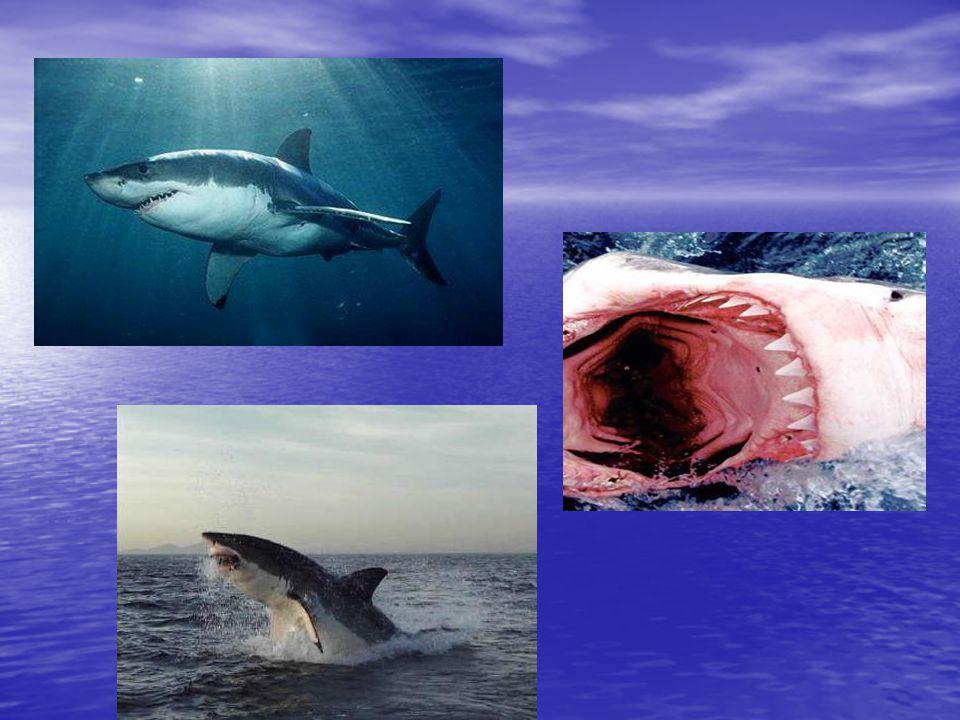 Žralok veliký (Cetohinus maximus) Délka:10 m Délka:10 m Hmotnost: 6 tun Hmotnost: 6 tun Rozmnožování: vejcoživorodý Rozmnožování: vejcoživorodý Rozšíření: vody mírného pásu na celém světě Rozšíření: vody mírného pásu na celém světě Stav ochrany: zranitelný druh Stav ochrany: zranitelný druh Je býložravec, živí se plaktonem Je býložravec, živí se plaktonem