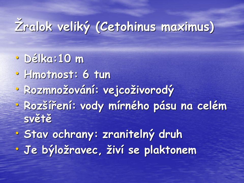 Žralok veliký (Cetohinus maximus) Délka:10 m Délka:10 m Hmotnost: 6 tun Hmotnost: 6 tun Rozmnožování: vejcoživorodý Rozmnožování: vejcoživorodý Rozšíř