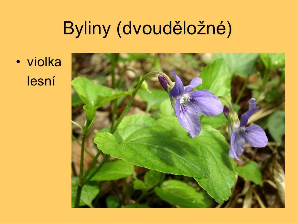 Byliny (dvouděložné) violka lesní