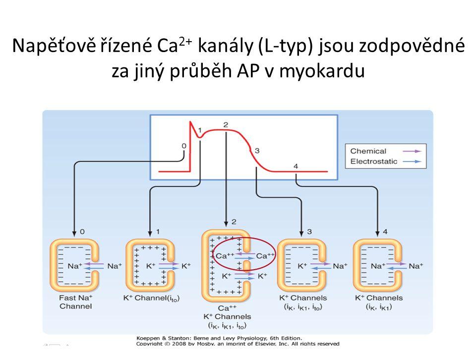 Napěťově řízené Ca 2+ kanály (L-typ) jsou zodpovědné za jiný průběh AP v myokardu