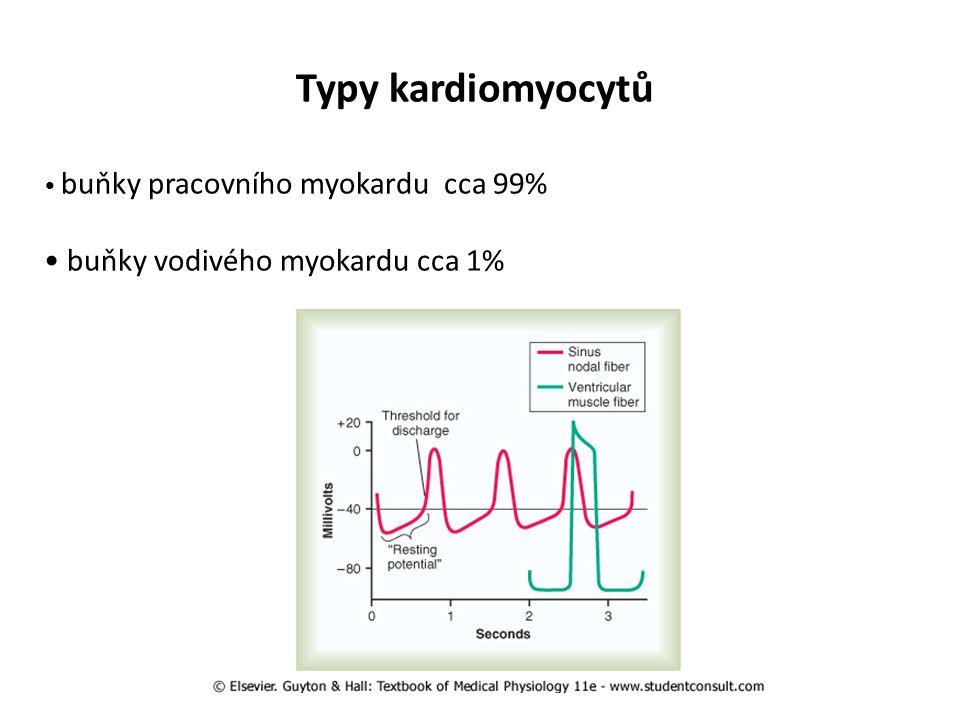 Typy kardiomyocytů buňky pracovního myokardu cca 99% buňky vodivého myokardu cca 1%