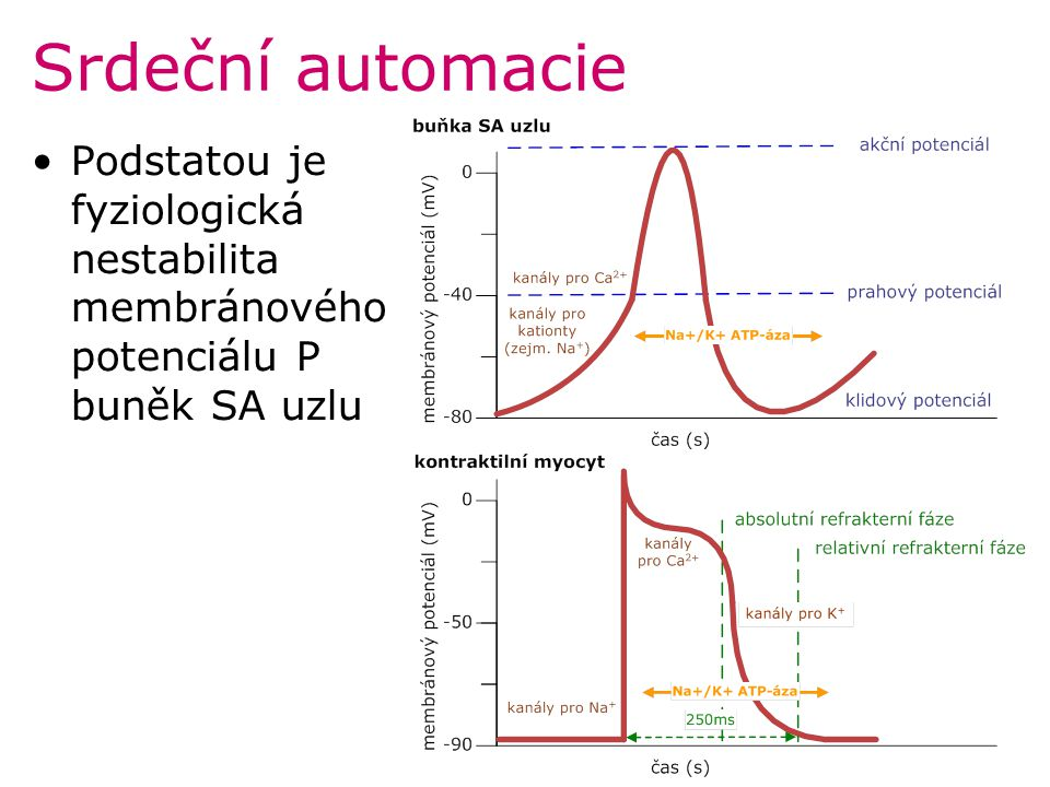 Poruchy tvorby vzruchu Heterotopní automacie = mimo SA uzel zdrojem automacie jiné místopřevodního systému popř.