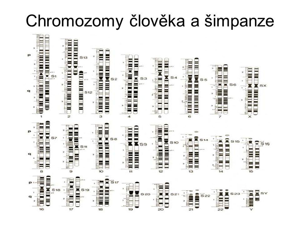 Chromozomy člověka a šimpanze