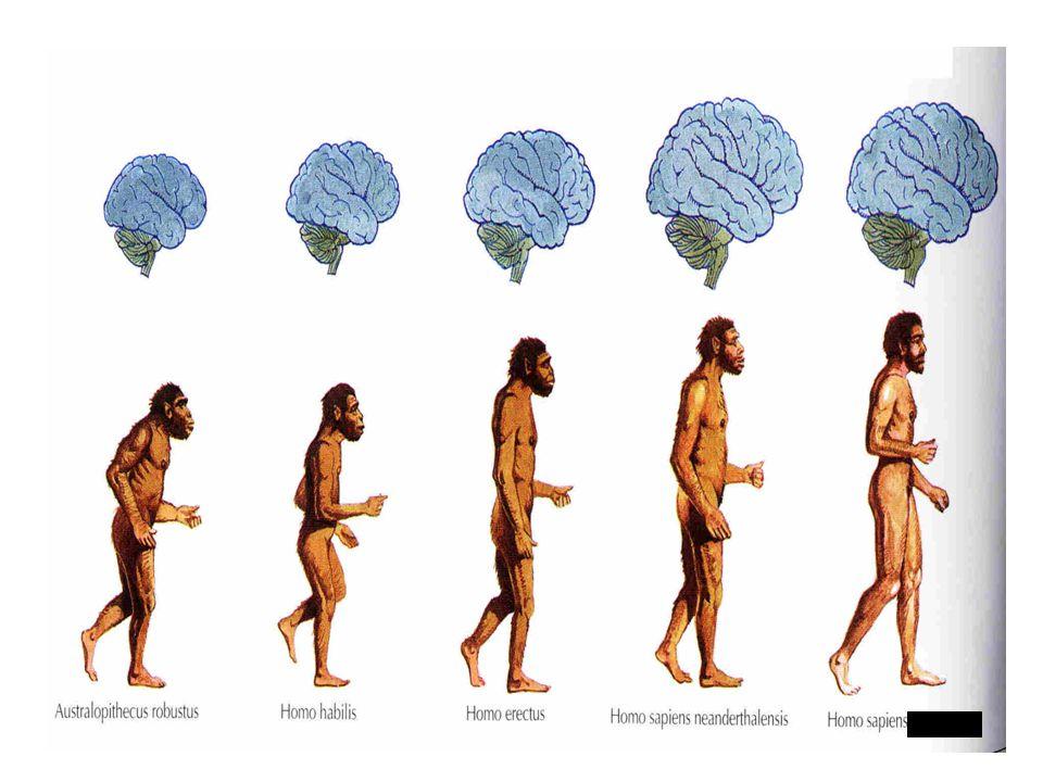 Důležité znaky lidské evoluce Velikost mozku Australopithecus 400cm 3 =  Homo sapiens 1 300cm 3 Tvar čelisti - zkrácení a ustupování čelisti =  zploštění obličeje, vystoupení brady, změna chrupu Vzpřímený postoj, chůze po dvou - změny na kostře Zmenšování rozdílu ve velikosti mezi pohlavími větší váha samce než samice: goril 2x =  lidí 1,2x Změny v sociálním životě monogamie s dlouhodobými svazky mezi partnery – delší péče o děti umožňuje lepší učení a složité vzorce chování