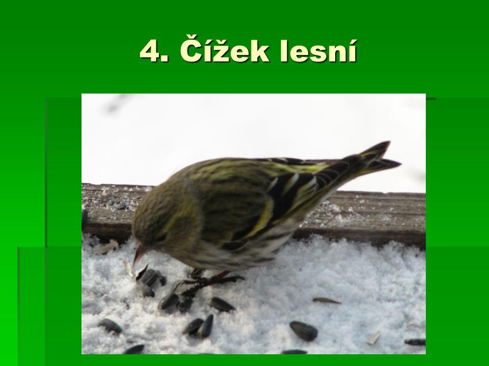 4. Čížek lesní