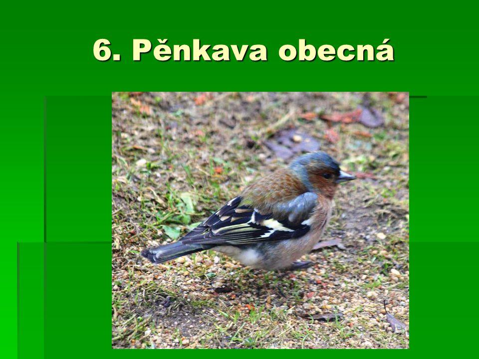 6. Pěnkava obecná
