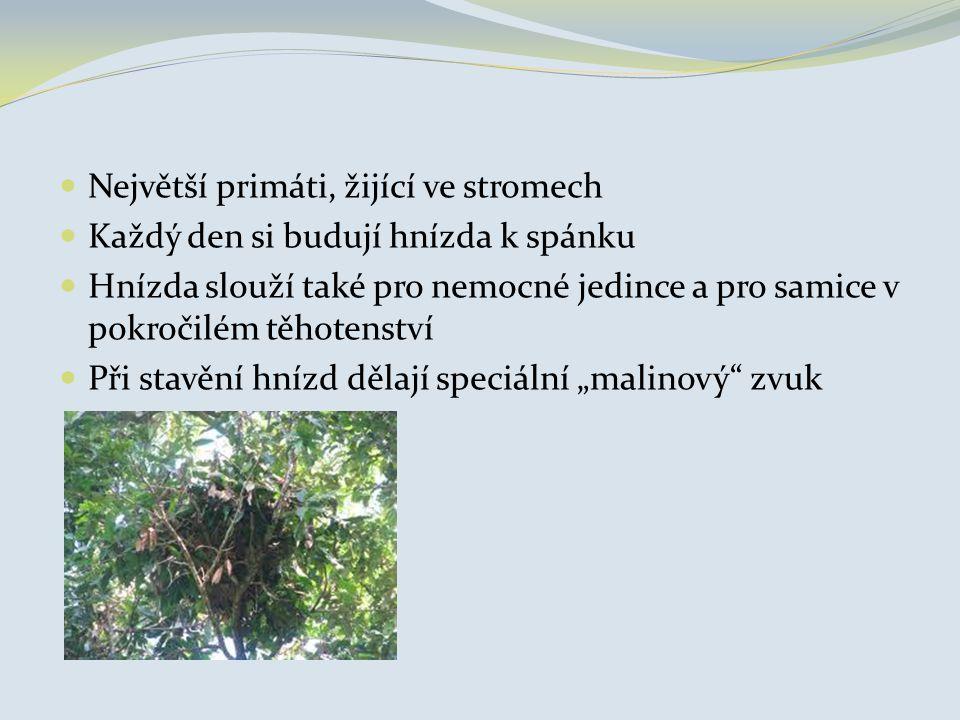 Největší primáti, žijící ve stromech Každý den si budují hnízda k spánku Hnízda slouží také pro nemocné jedince a pro samice v pokročilém těhotenství