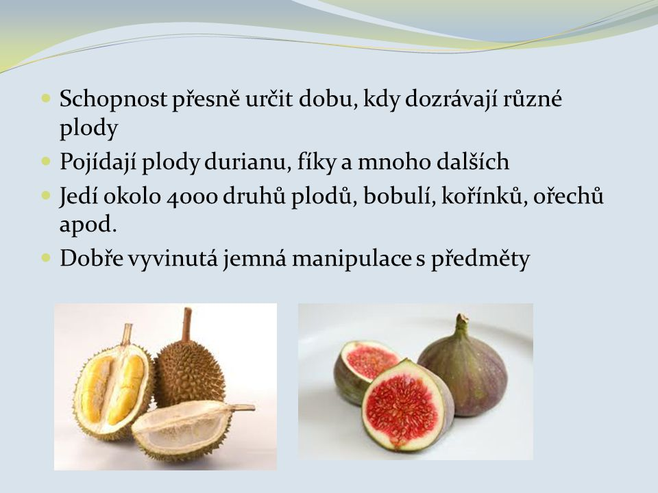 Schopnost přesně určit dobu, kdy dozrávají různé plody Pojídají plody durianu, fíky a mnoho dalších Jedí okolo 4000 druhů plodů, bobulí, kořínků, ořec
