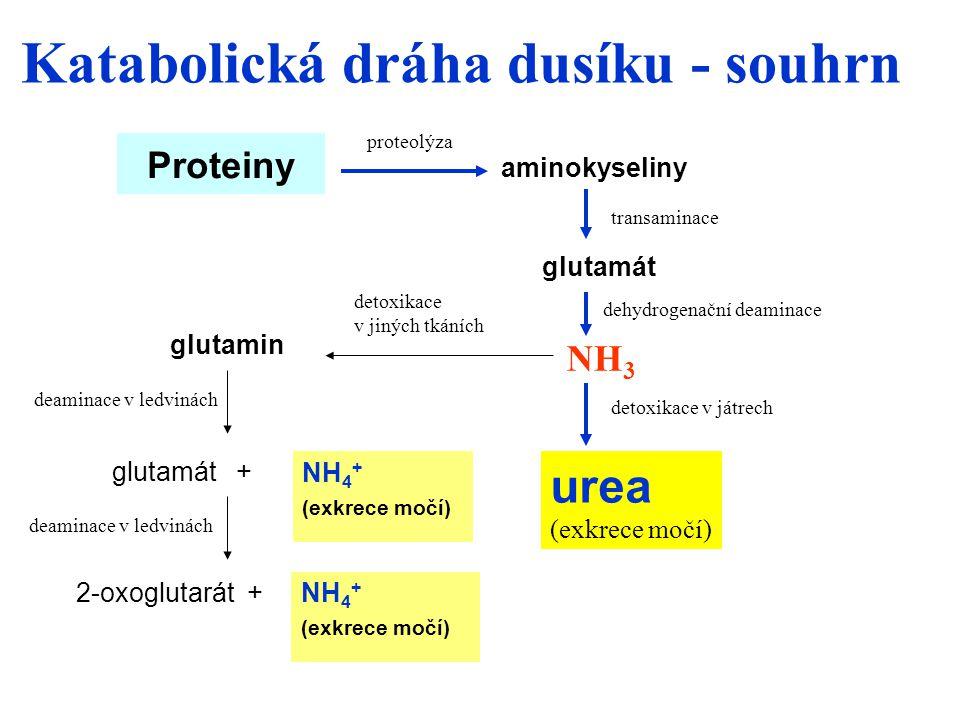Proteiny NH 3 glutamát glutamát + urea (exkrece močí) 2-oxoglutarát + glutamin proteolýza dehydrogenační deaminace detoxikace v játrech deaminace v ledvinách aminokyseliny transaminace detoxikace v jiných tkáních NH 4 + (exkrece močí) NH 4 + (exkrece močí) deaminace v ledvinách Katabolická dráha dusíku - souhrn