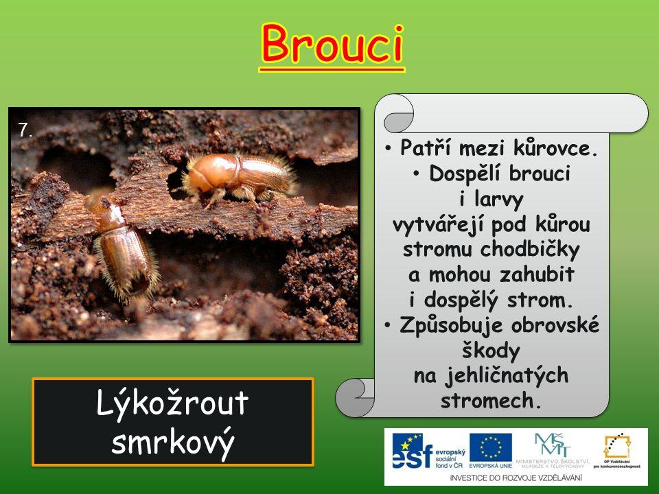 Lýkožrout smrkový Lýkožrout smrkový 7. Patří mezi kůrovce. Dospělí brouci i larvy vytvářejí pod kůrou stromu chodbičky a mohou zahubit i dospělý strom