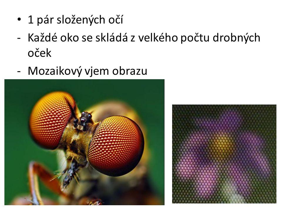 1 pár složených očí -Každé oko se skládá z velkého počtu drobných oček -Mozaikový vjem obrazu