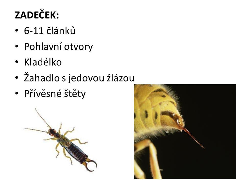 ZADEČEK: 6-11 článků Pohlavní otvory Kladélko Žahadlo s jedovou žlázou Přívěsné štěty