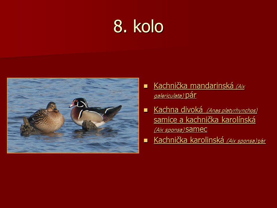 8. kolo Kachnička mandarinská (Aix galericulata) pár Kachnička mandarinská (Aix galericulata) pár Kachnička mandarinská (Aix galericulata) pár Kachnič