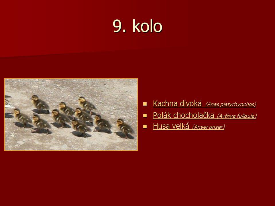 9. kolo Kachna divoká (Anas platyrhynchos) Kachna divoká (Anas platyrhynchos) Kachna divoká (Anas platyrhynchos) Kachna divoká (Anas platyrhynchos) Po