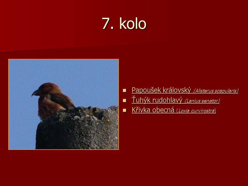 7. kolo Papoušek královský (Alisterus scapularis) Papoušek královský (Alisterus scapularis) Papoušek královský (Alisterus scapularis) Papoušek královs