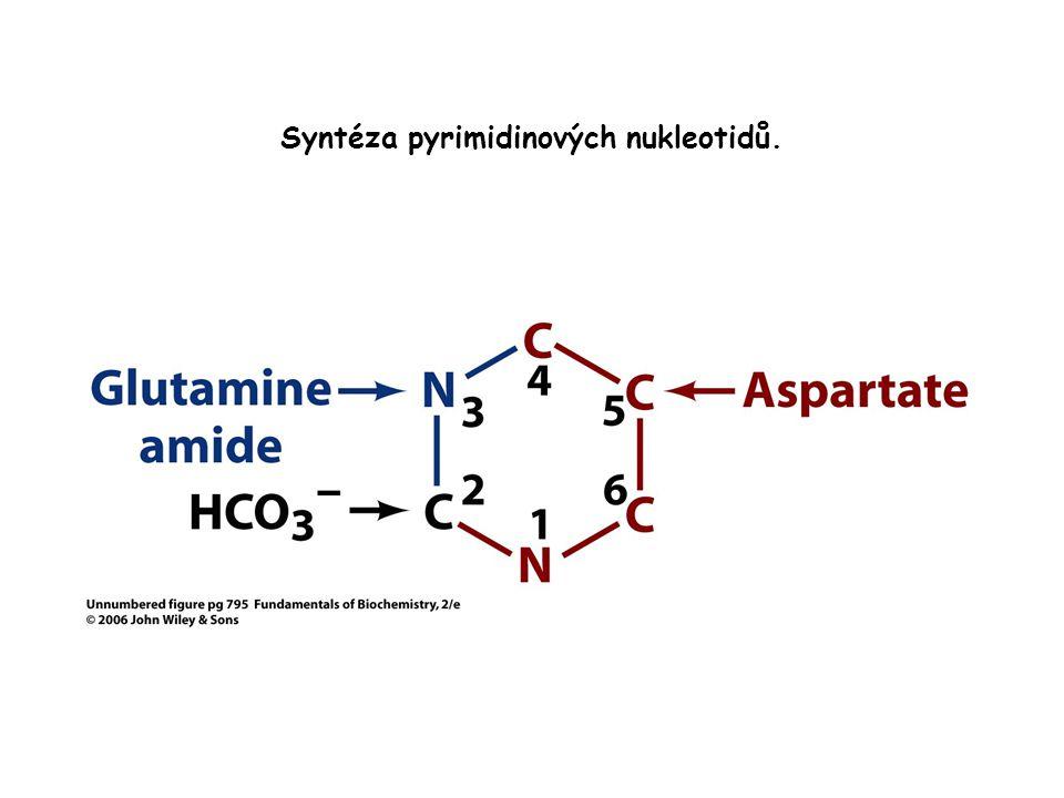 Syntéza pyrimidinových nukleotidů.
