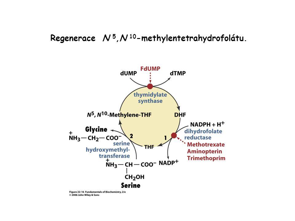 Regenerace N 5,N 10 -methylentetrahydrofolátu.