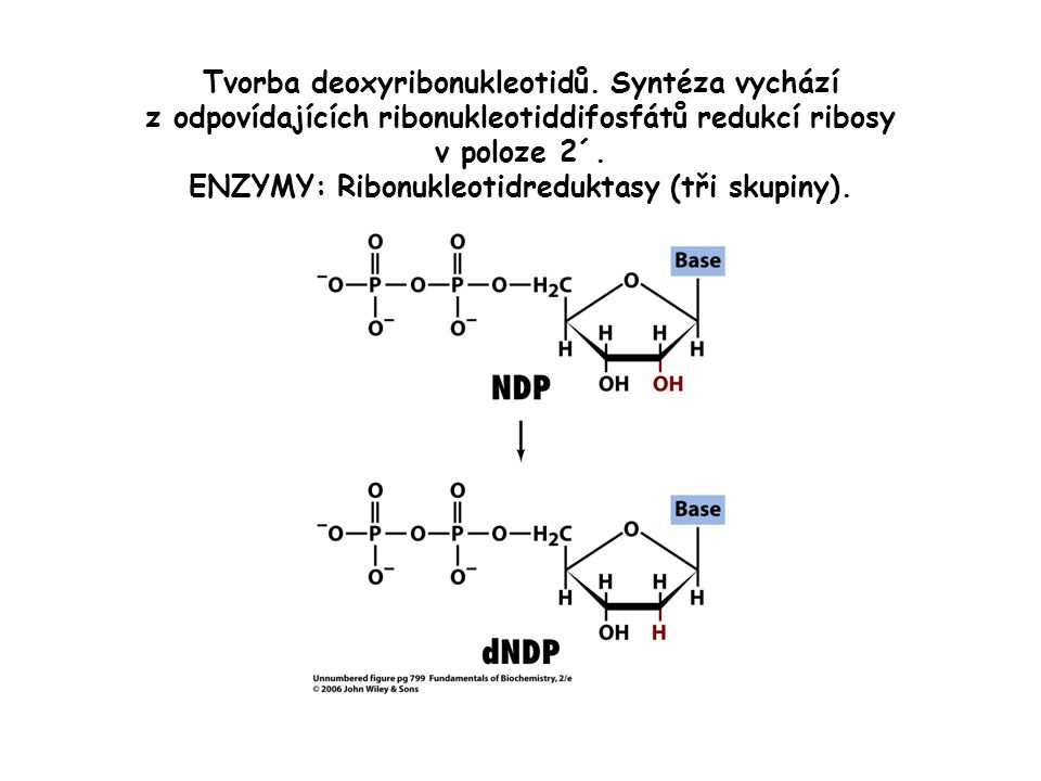 Tvorba deoxyribonukleotidů.