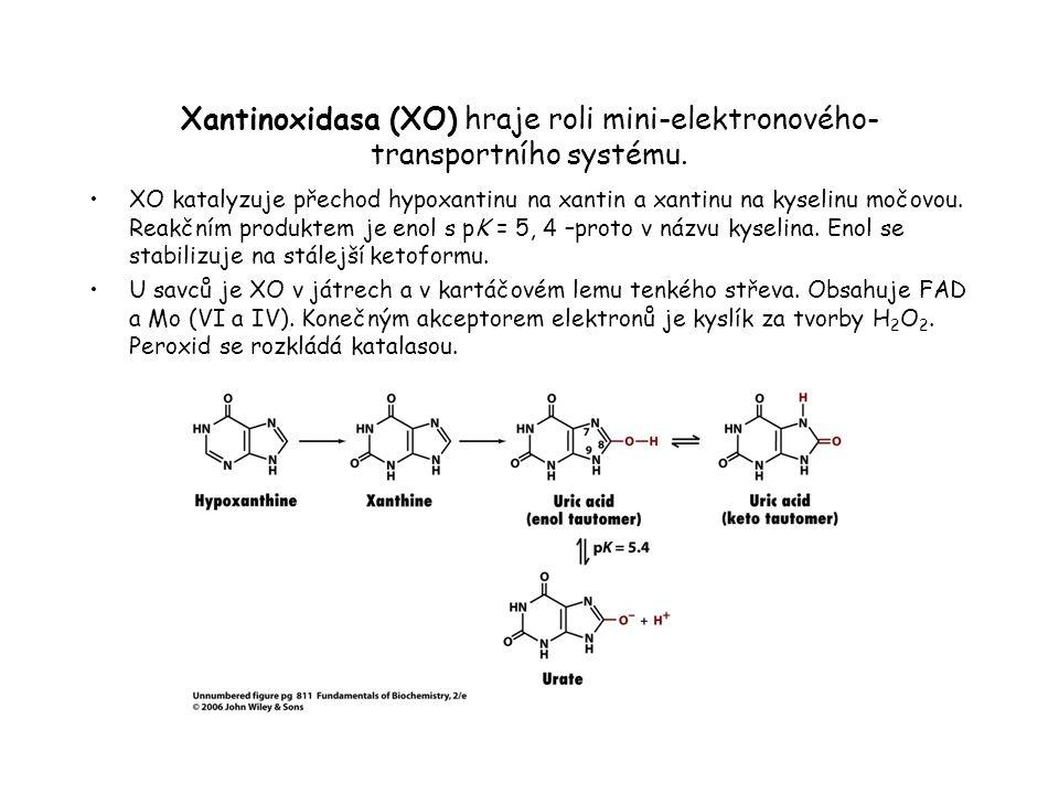 Xantinoxidasa (XO) hraje roli mini-elektronového- transportního systému.