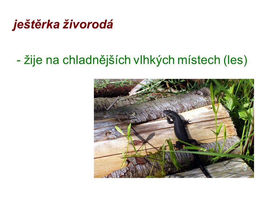ještěrka živorodá - žije na chladnějších vlhkých místech (les) 3