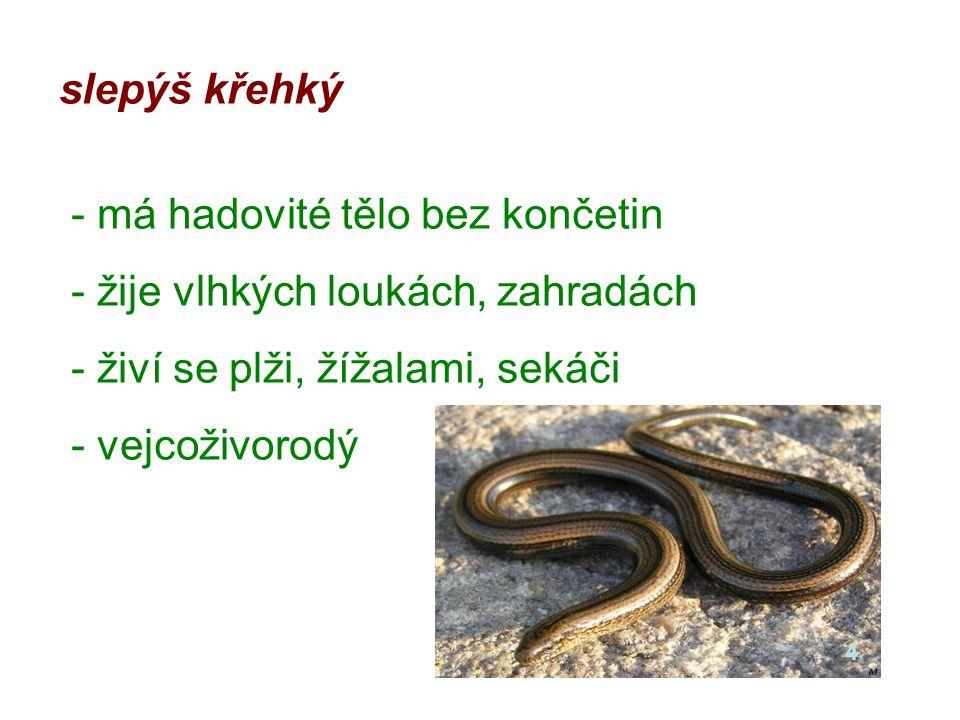 slepýš křehký - má hadovité tělo bez končetin - žije vlhkých loukách, zahradách - živí se plži, žížalami, sekáči - vejcoživorodý 4
