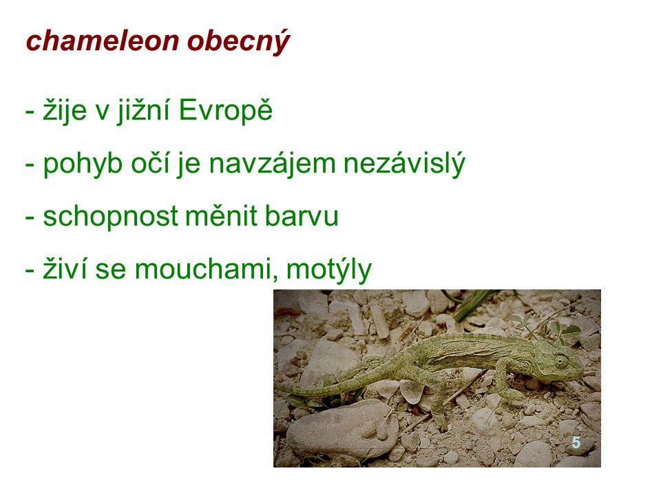chameleon obecný - žije v jižní Evropě - pohyb očí je navzájem nezávislý - schopnost měnit barvu - živí se mouchami, motýly 5