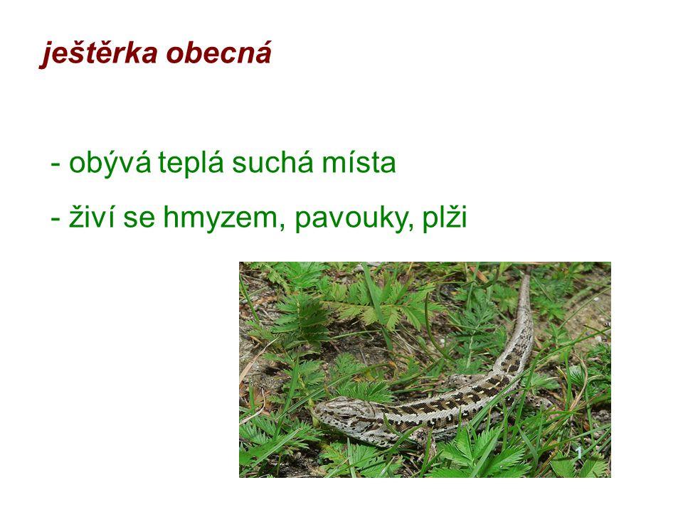 ještěrka obecná - obývá teplá suchá místa - živí se hmyzem, pavouky, plži 1