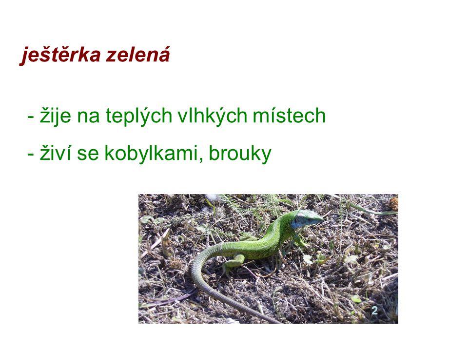 ještěrka zelená - žije na teplých vlhkých místech - živí se kobylkami, brouky 2