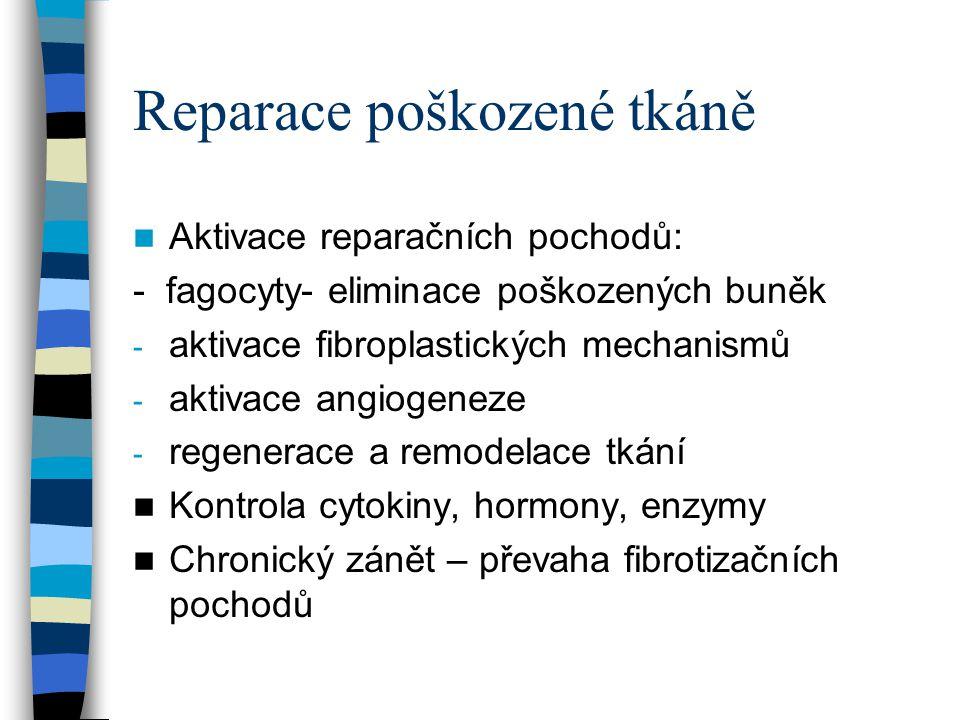 Reparace poškozené tkáně Aktivace reparačních pochodů: - fagocyty- eliminace poškozených buněk - aktivace fibroplastických mechanismů - aktivace angio