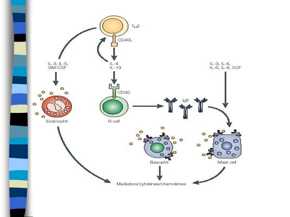 Mastocyty Diferenciace z pluripotentní CD34+ kmenových buněk v kostní dřeni (SCF) Ukončení diferenciace ve vaskularizovaných tkáních Lokalizace v blízkosti cév a nervů (zralé mastocyty necirkulují v krvi), mezi epitelovými povrchy a parenchymem kůže, střeva, respiračního traktu